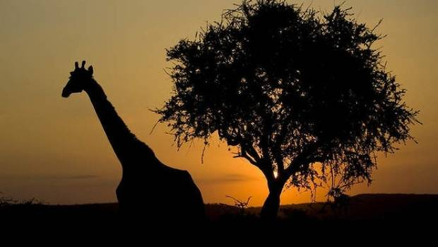 ON SAFARI: Giraffe at the Hluhluwe-iMfolozi National Park, South Africa.