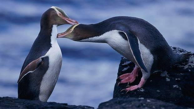 Yellow-eyed penguins.