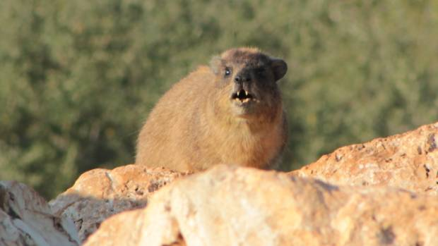 ROCK HYRAX: Its grunts, wails and whistles have come under scrutiny.