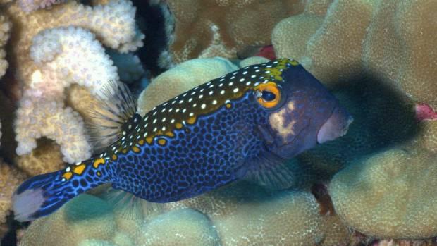 A boxfish swims off the coast of the Big Island of Hawaii.