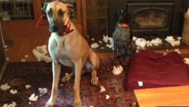 SOCK LOVER: This Great Dane ate so many socks he needed surgery to remove all 43.5 of them.