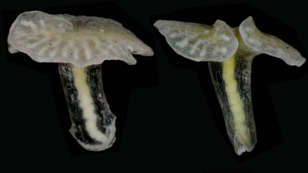 LIFE APART: These deep-sea invertebrates, which look like mushrooms, require an entirely new phylum.