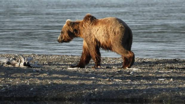 Boy, 11, shoots charging bear to save fishing party in Alaska