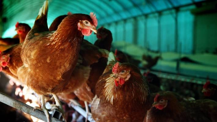 Mcdonalds Sets New Welfare Standards For Chickens Stuff