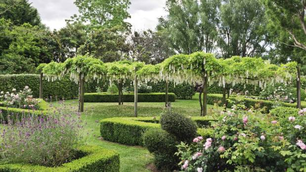 Hanging wisteria, surrounded by buxus borders and David Austin 'Constance Spry' roses.