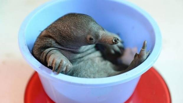 Baby Echidna Born At Australia Zoo Stuff Co Nz