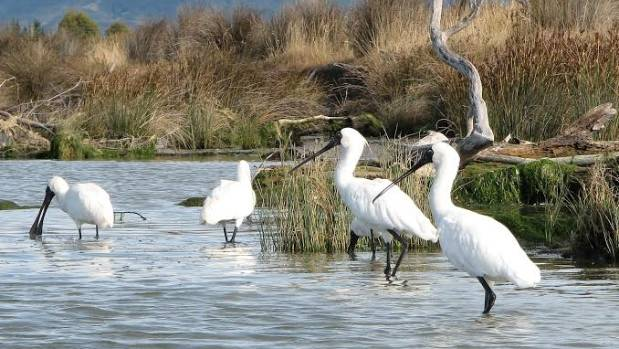 WHITE MAGIC: Royal spoonbills preening on the shore of the Waima River.