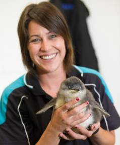 CHEEP AND CHEERFUL: National Aquarium penguin keeper and diver Miriam Strachan with the rescued 10-week-old  little penguin.