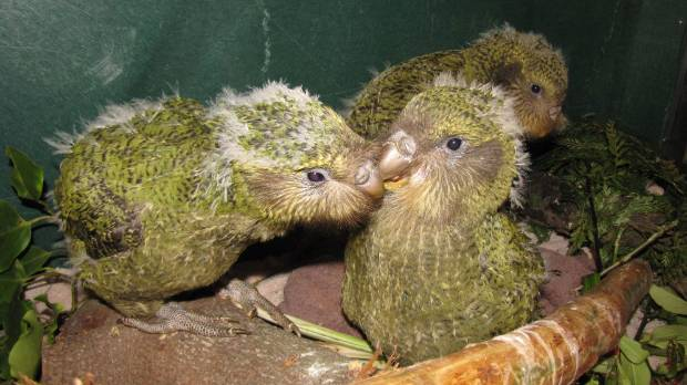 Hand raised Kakapo chicks.