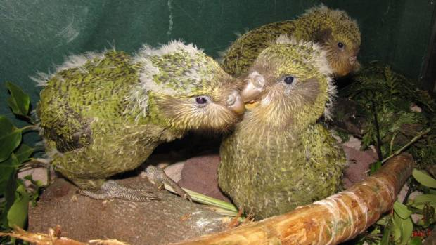 CUTE: Hand-raised kakapo chicks are very cute but is the species worth saving given the cost to do so.