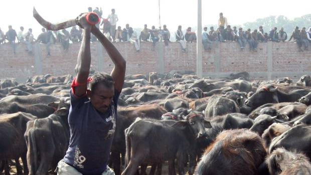 animal slaughter Compassion in world farming believes that suffering at slaughter can be  avoided,  the transport and handling of the animal prior to slaughter minimises  stress.