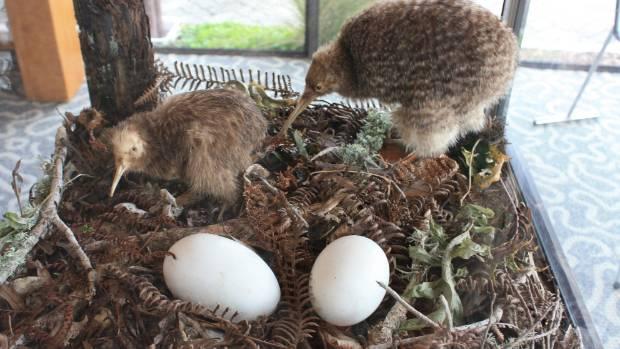 Kiwi Bird Egg Size Comparison | www.imgkid.com - The Image ...