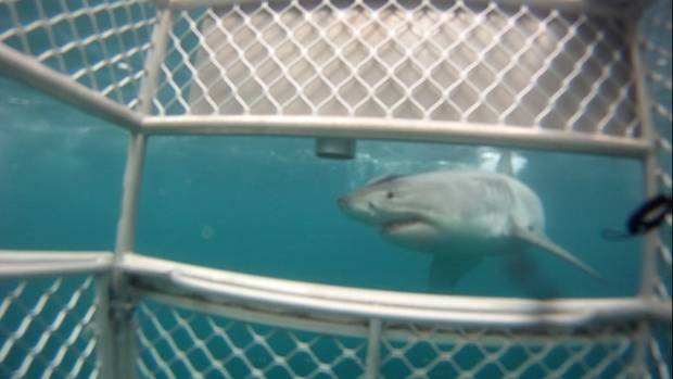 The residents say cage diving is attracting more sharks to the area.