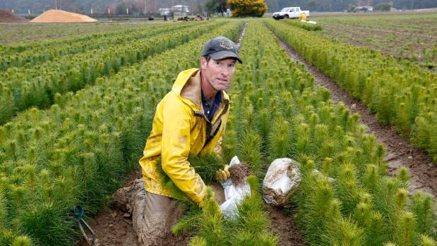 Growing trees will be a big part of NZ's plans. Kerry Mead is lifting pinus radiata pine seedlings at ArborGen Nursery.