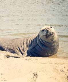 ALL SORTS: A seal takes a breather on Waikuku Beach.