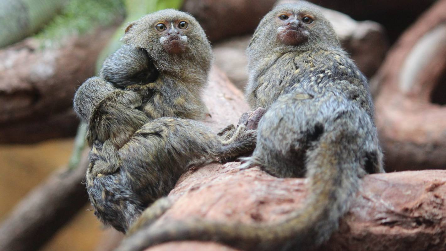 Twin pygmy marmosets born at Wellington Zoo | Stuff.co.nz  Twin pygmy marm...