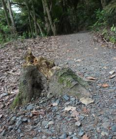 SUFFERING: One of the trees which has come down on the Okura Bush walkway.