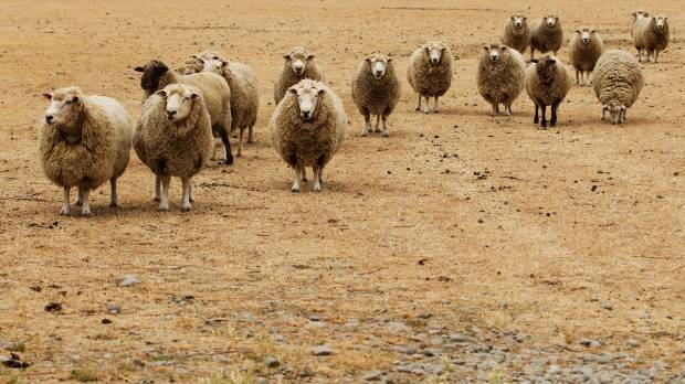 BROWN PADDOCK: Sheep stand in a dry paddock near the Greendale area.