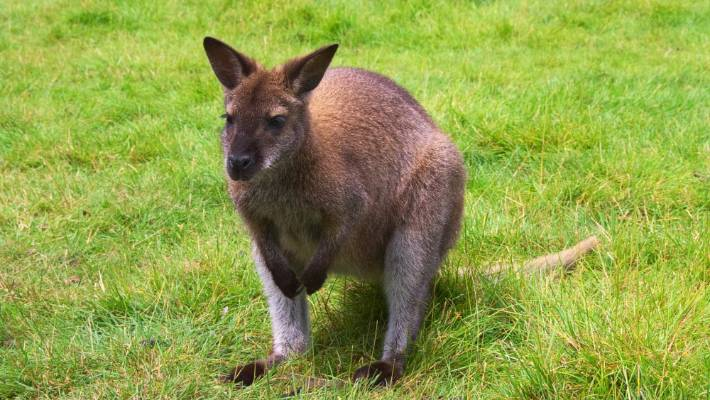 Suspected Wallaby In Northland Leads Multiple Agencies On A 10k Wild Goose Or Should That Be Wallaby Chase Stuff Co Nz