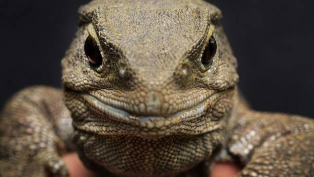 FAMOUS FANS: Hendrix, Hamilton Zoo's resident tuatara could in be in for a visit from legendary guitar man Slash next month.