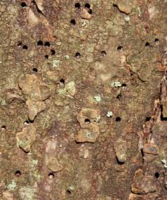 WARNING SIGN: Exit holes are signs of the beetle that spreads Dutch elm disease.