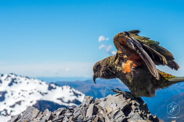 """""""A young kea at the top of Avalanche Peak, Arthur's Pass."""""""