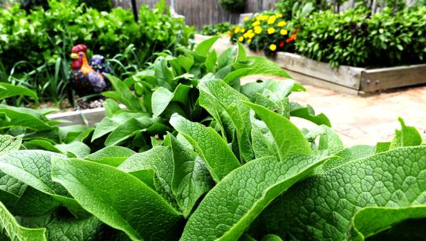 A liquid fertiliser made of comfrey will give your vege patch a boost.