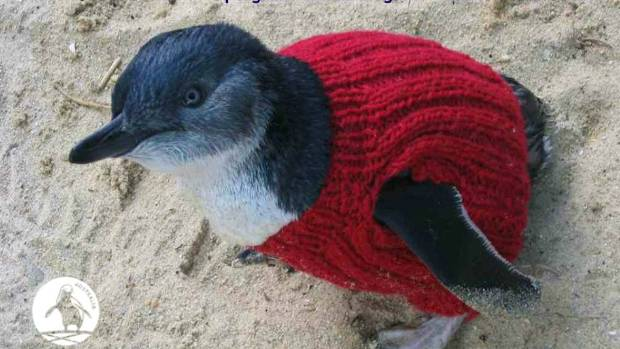 IN ACTION: A real little penguin shows off his sweater.