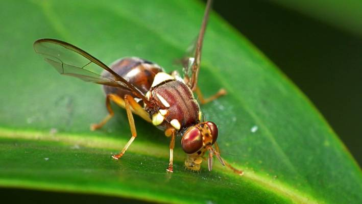 Auckland fruit fly operation ramps up | Stuff co nz