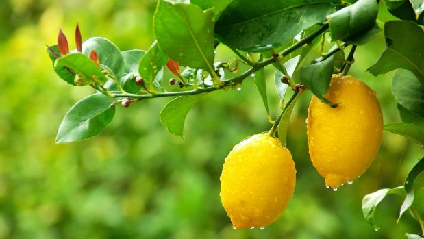 5 Common Citrus Tree Problems Stuff Co Nz