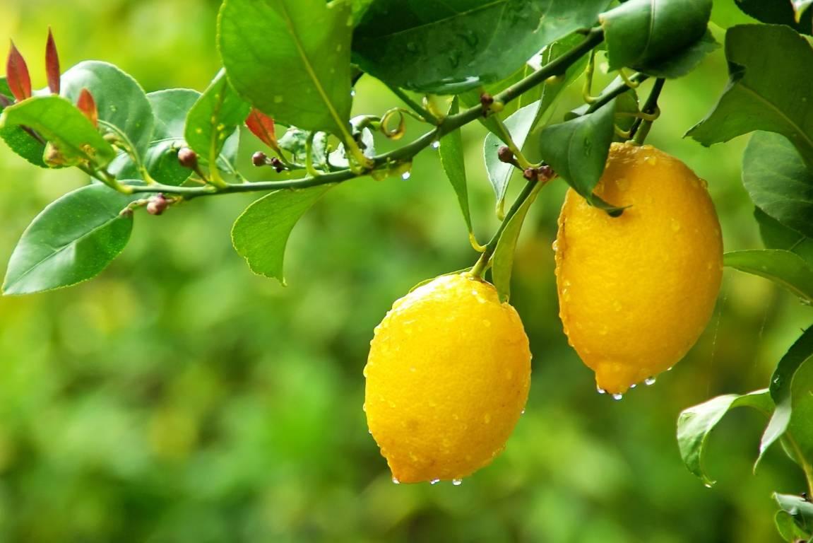 5 Common Citrus Tree Problems Stuff Co Nz