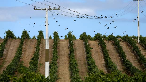 This vineyard in the Awatere Valley hints at the dry conditions grapegrowers have faced heading into this year's harvest.
