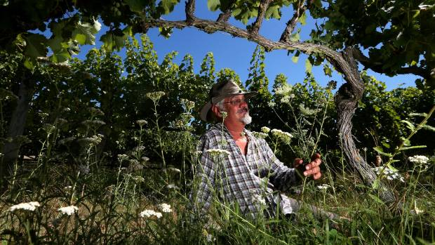 LAND LIFE: Seresin Estate Manager Colin Ross sits in the organic vineyard where wild carrots grow under vines.