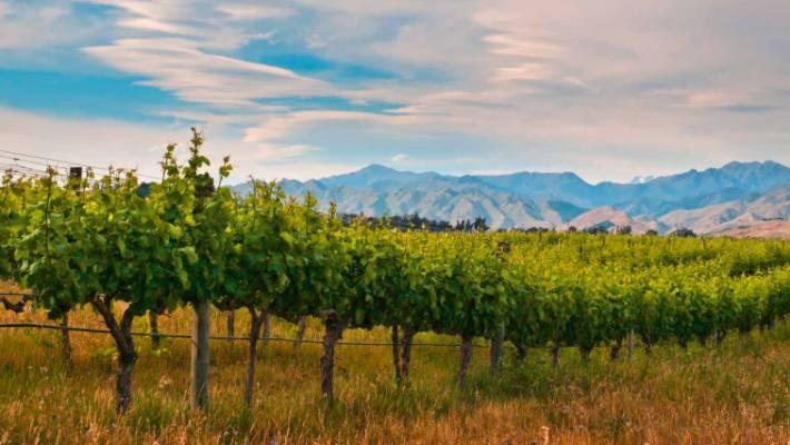 Grow your own    grape vines | Stuff co nz