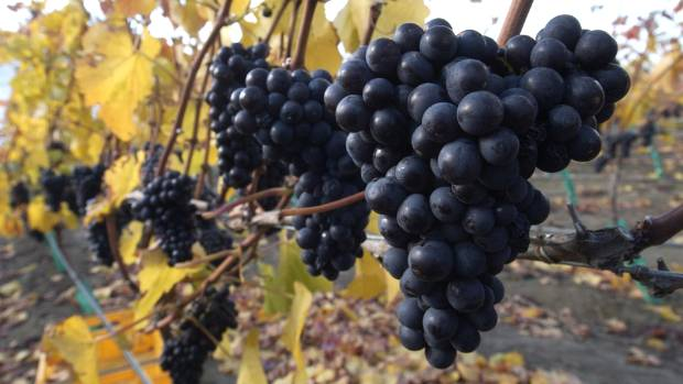 ON THE UP: Grape plantings have boomed since the early 2000s.