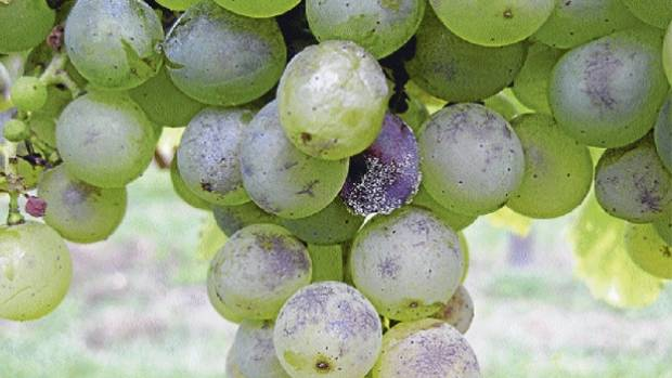 An example of powdery mildew on grapes.