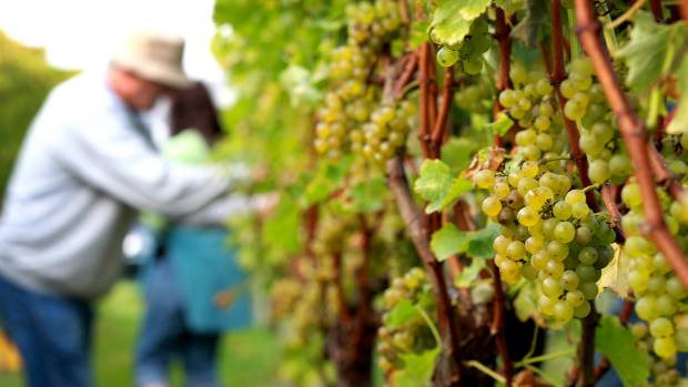 WINE COUNTRY: More than 75 per cent of New Zealand's wine now comes from Marlborough.