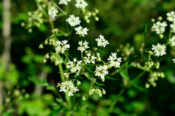 Caraway is a biennial. In its first year, the plant forms feathery fronds, which reach a height of around 20cm. In its ...
