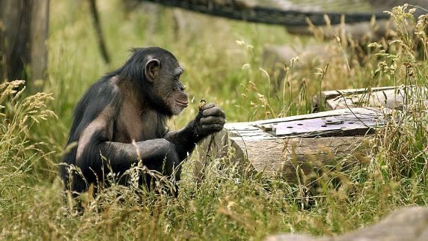 Hamilton chimpanzee dies after attack   Stuff co nz