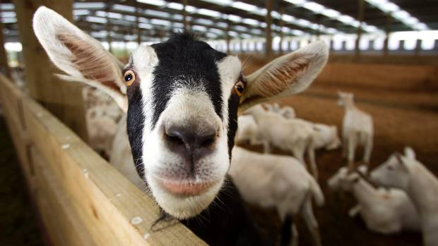 A new goat milking operation is being set up where 900 goats are housed indoors.