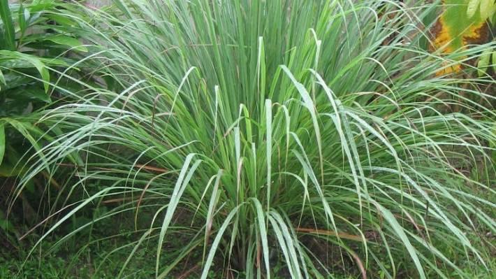 How to grow your own lemongrass   Stuff co nz