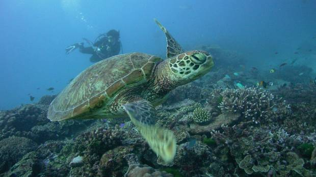 A green turtle has plenty of time as it makes its leisurely way across the reef.