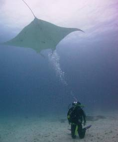 A diver observes a stealth bomber-like ray as it swoops through the waters of the Great Barrier Reef.