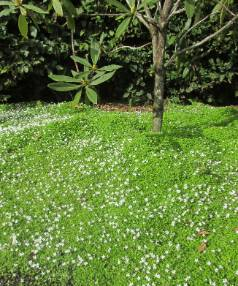 The best plants for ground cover stuff pratia angulata is a popular native ground cover with tiny white flowers for months on end mightylinksfo