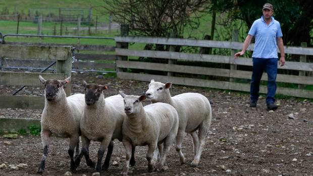Chris Hampton with his winning Charollais (light-faced) and Charollais Suffolk rams at Cave in South Canterbury.  -sheep ...