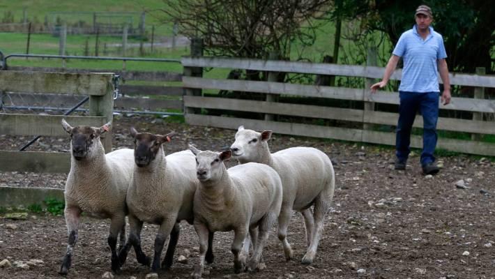 Couple take on an unusual breed of sheep | Stuff co nz