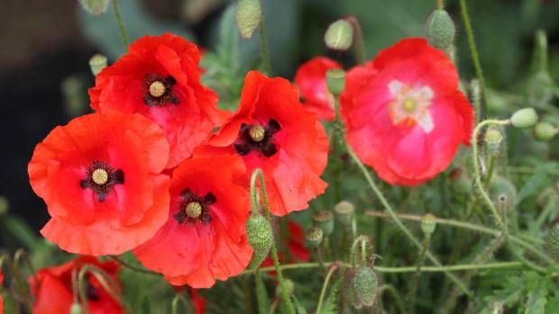 southland student wins anzac essay stuff co nz poppies in bloom