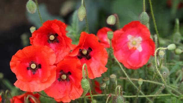 The meaning behind flanders poppies stuff the corn poppy has become an international symbol of remembrance mightylinksfo