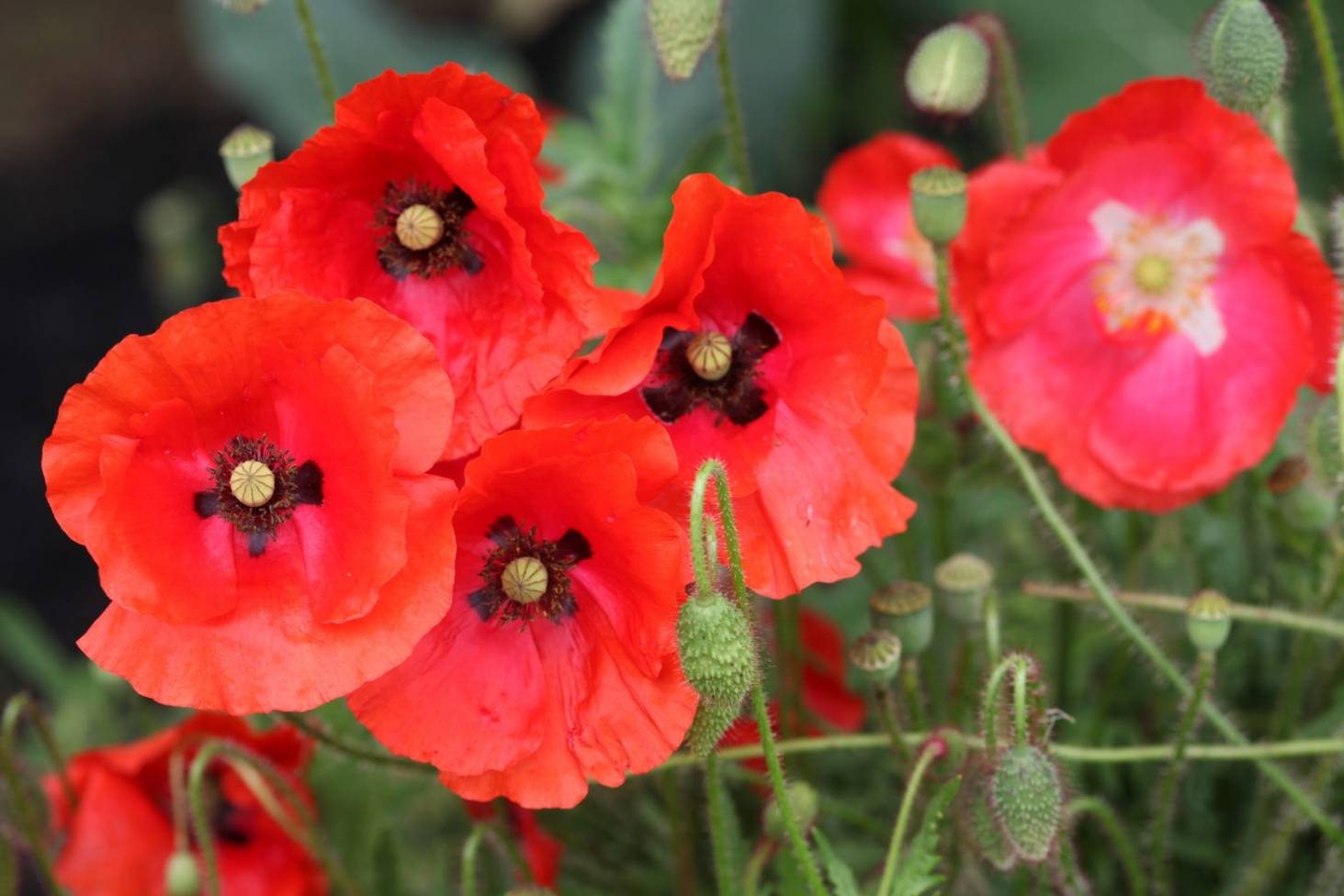The Meaning Behind Flanders Poppies Stuff