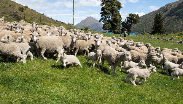 Merino farmers are looking for a fine wool sheep that can compete with crossbreds on lower lying parts of the eastern ...